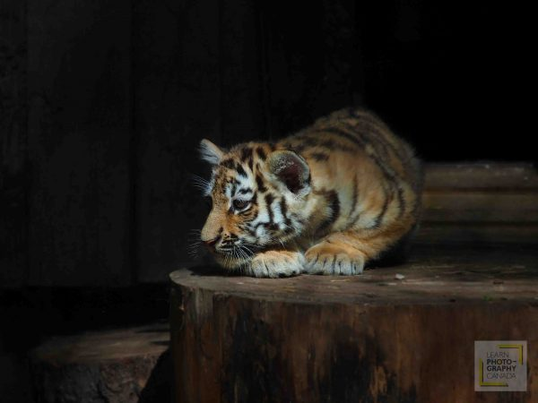 Baby tiger cub crouched on log with spotlight natural light