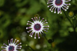 Three white and purple flowers in a diagonal row with shallow depth of field