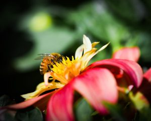 Macro photograph of bee eating in a yellow and red flower
