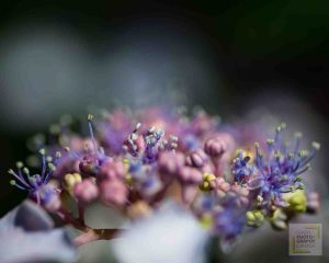 Close up of purple and pink flower with shallow depth of field