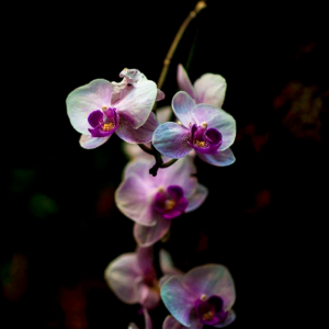 Spotlight photo of white and purple orchid