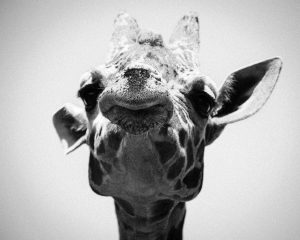 Looking up at giraffe face close up and black and white